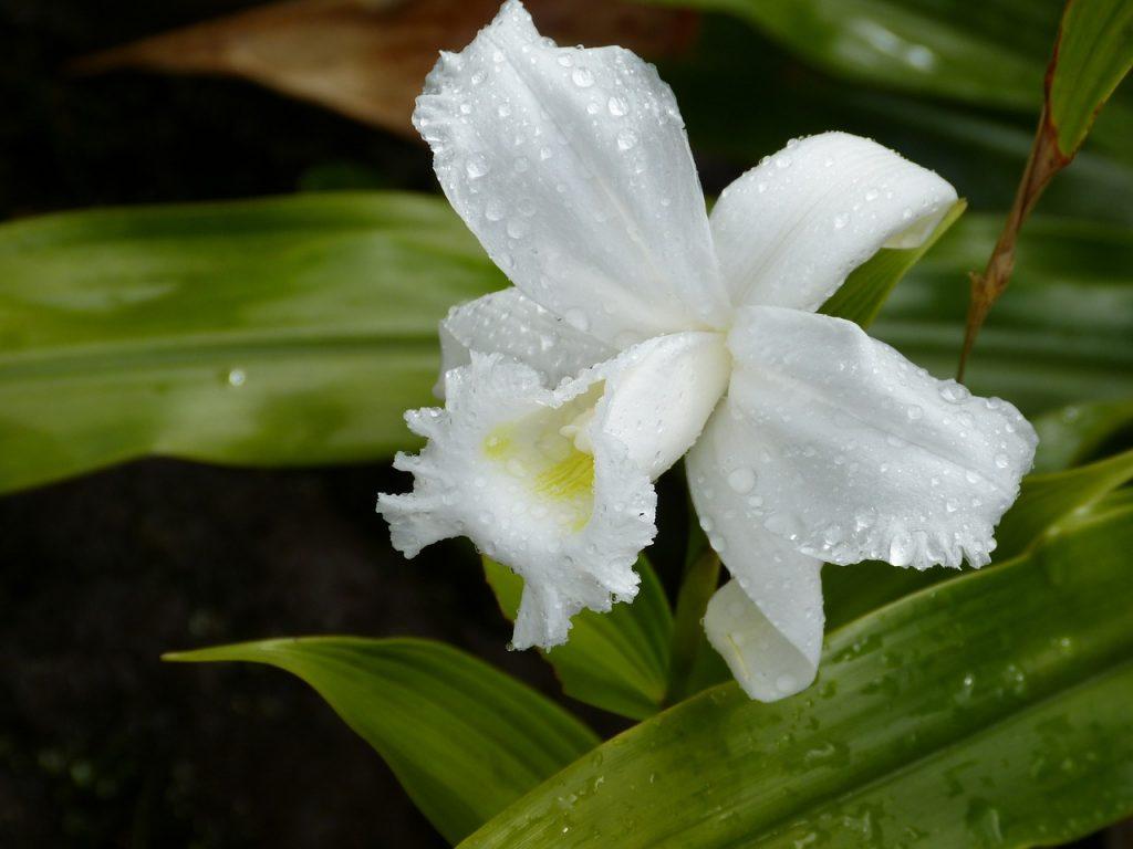 orchid, tropical, tropics